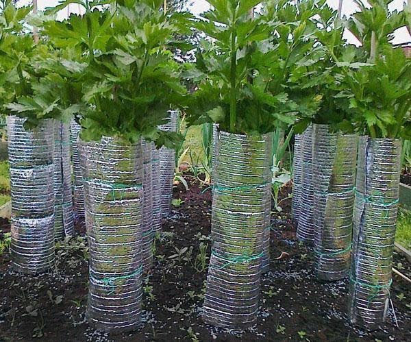 Сельдерей: выращивание и уход в открытом грунте черешкового, корневого и листового сельдерея