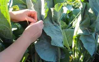 Не завязывается цветная капуста: причины и что делать