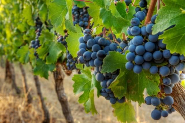 Сорт универсального назначения, незаменимый в виноделии — мускат гамбургский