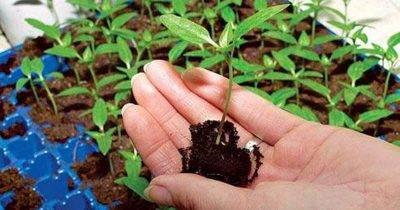 Когда и как сажать свеклу семенами: пошаговая инструкция для начинающих огородников