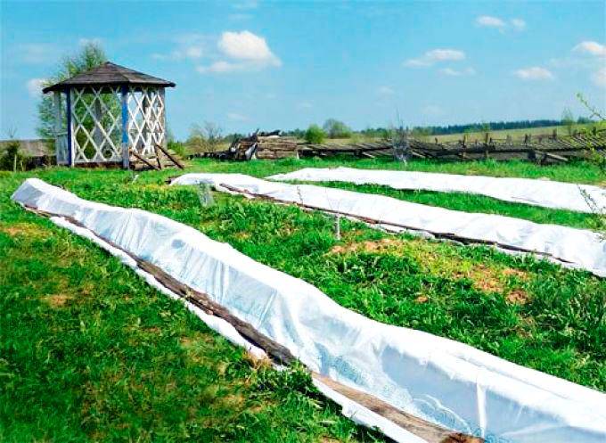 Как укрыть виноград на зиму в сибири: подготовка — selok.info