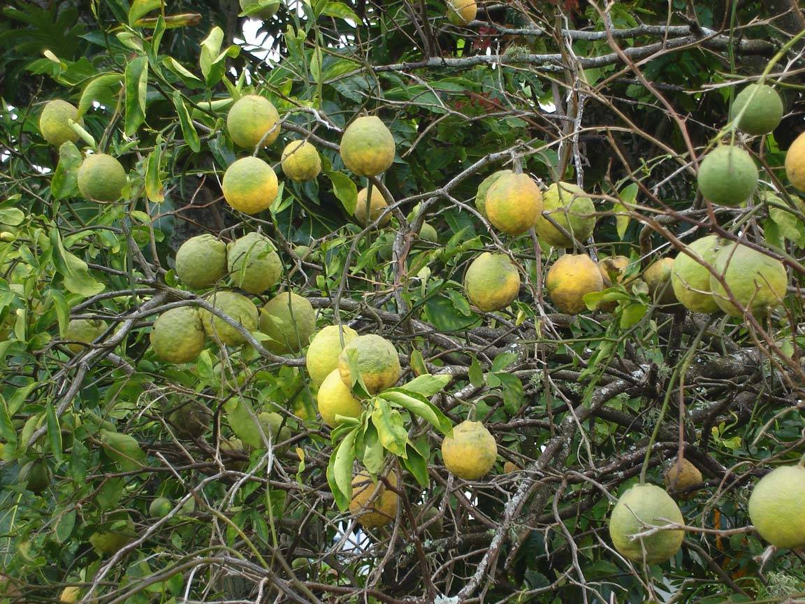 Дикий лимон и его применение