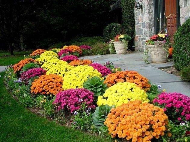 Уход за хризантемами осенью, подготовка к зиме, укрытие и хранение