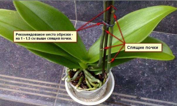 Орхидея после цветения: нужно ли обрезать цветонос и можно или нет удалять стебли и ствол до того, как они увянут и пожелтеют, как купировать стрелки? selo.guru — интернет портал о сельском хозяйстве
