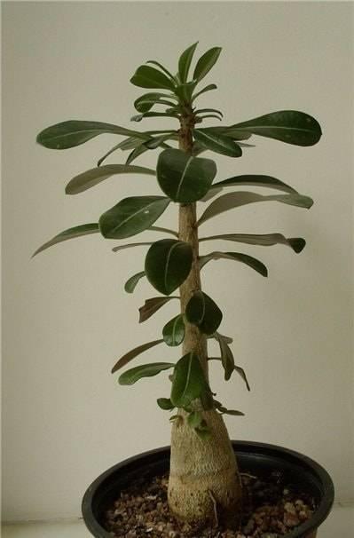 Правила обрезки адениума в домашних условиях. для чего нужна процедура и как сформировать растение?