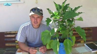 Формирование куста баклажан в теплице или открытом грунте