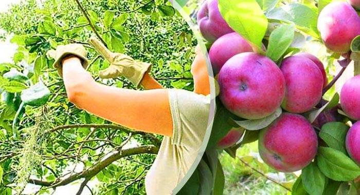 Яблоня баяна: описание, фото, отзывы | tele4n.net