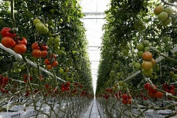 Фунгициды для томатов лучшие для открытого грунта, в теплице