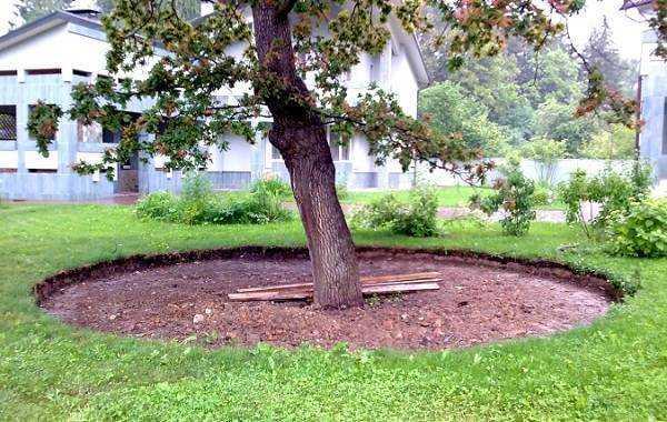 Нужно ли перекапывать приствольные круги плодовых деревьев?