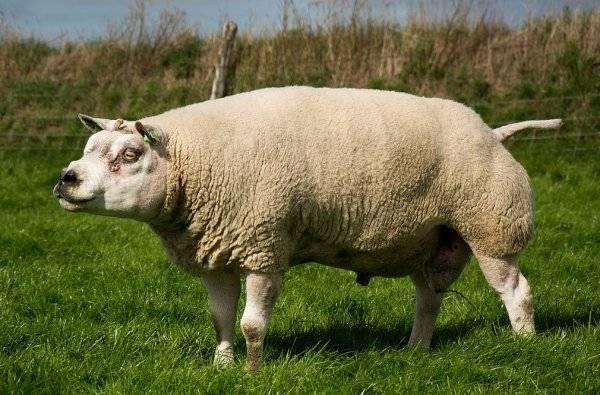 Особенности породы овец тексель, правила содержания и возможные заболевания