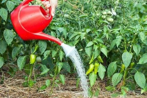 Перец «айвенго» особенности выращивания и ухода