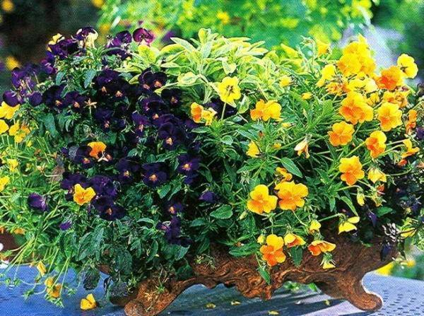 Фиалка садовая многолетняя — посадка и уход, описание, фото