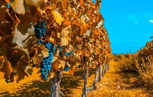 Схема обработки винограда железным и медным купоросами
