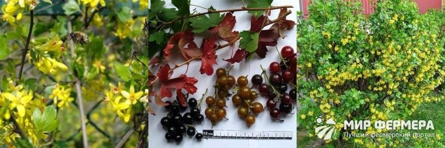 Смородина золотистая (23 фото): что это такое, описание сортов золотого растения с желтыми ягодами, разновидность «венера» и отзывы