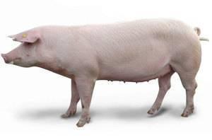 Эволюционирование свиней   cельхозпортал