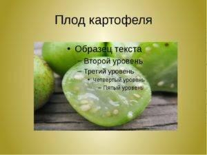 ✅ картофель это корнеплод. как называется плод картофеля: клубень или ягода - живой-сад.рф
