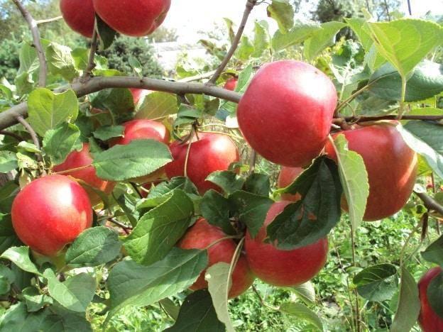 Описание яблони веньяминовское - медоносы   описание, советы, отзывы, фото и видео