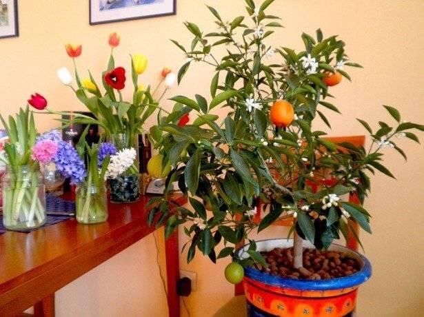 Как в домашних условиях вырастить мандарин из косточки: посадка, уход, секреты плодоношения