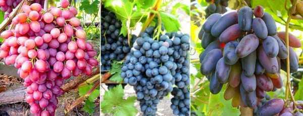 Виноград черных сортов: описание фото