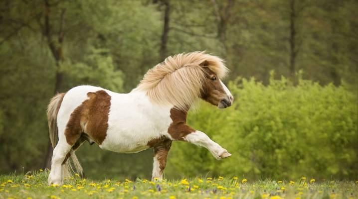 Американская миниатюрная лошадь   мои лошадки