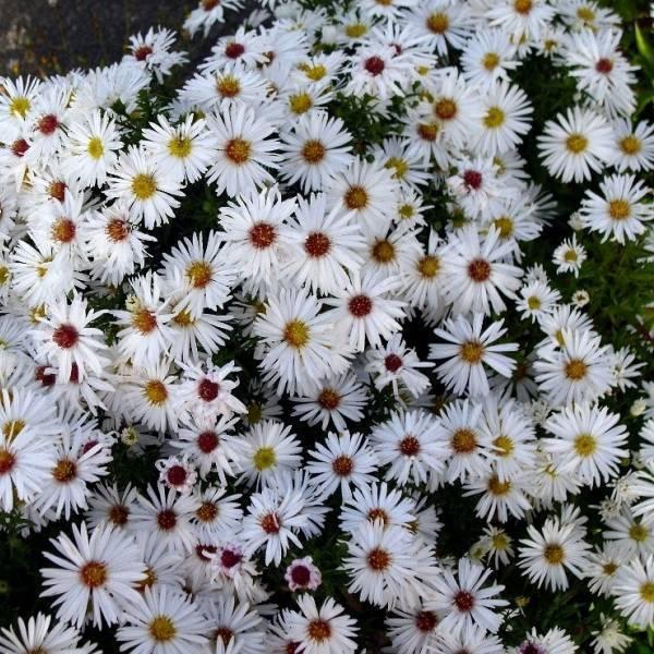 Цветы сентябринки посадка и уход как посадить сентябринки весной и осенью фото сортов