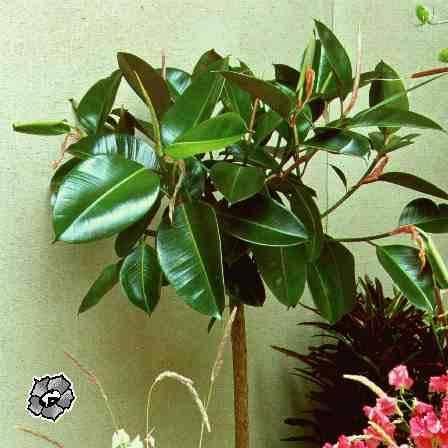 Фикус каучуконосный - выращивание и уход в домашних условиях