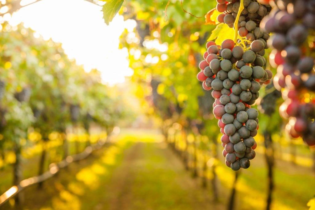 Выращивание винограда в подмосковье: уход в открытом грунте, теплице, парнике весной и в другое время года