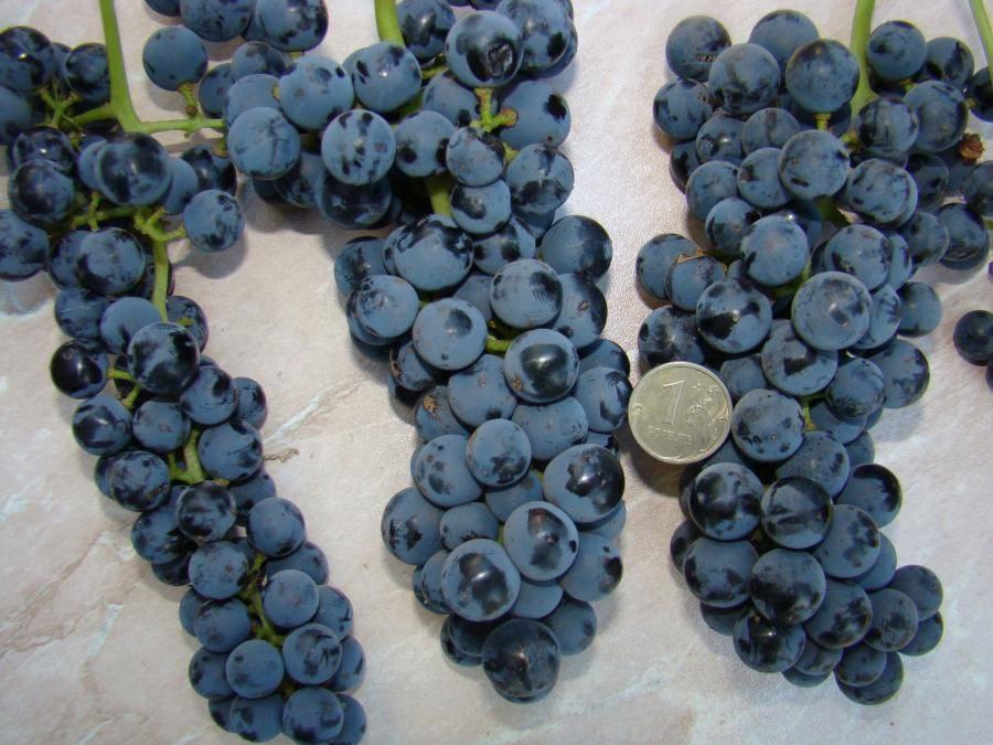 Морозостойкие сорта винограда: самые зимостойкие неукрывные сорта