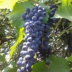 ✅ описание сорта винограда левокумский, характеристики сорта, устойчивость к морозам - tehnomir32.ru