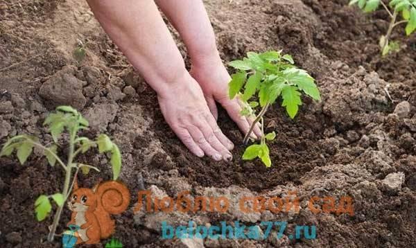 Что посадить после помидоров на следующий год, а что не следует