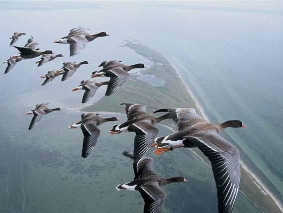 Правила охоты на гусей весной