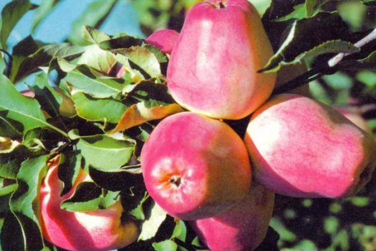 Сорт яблони аркадик – описание, фото