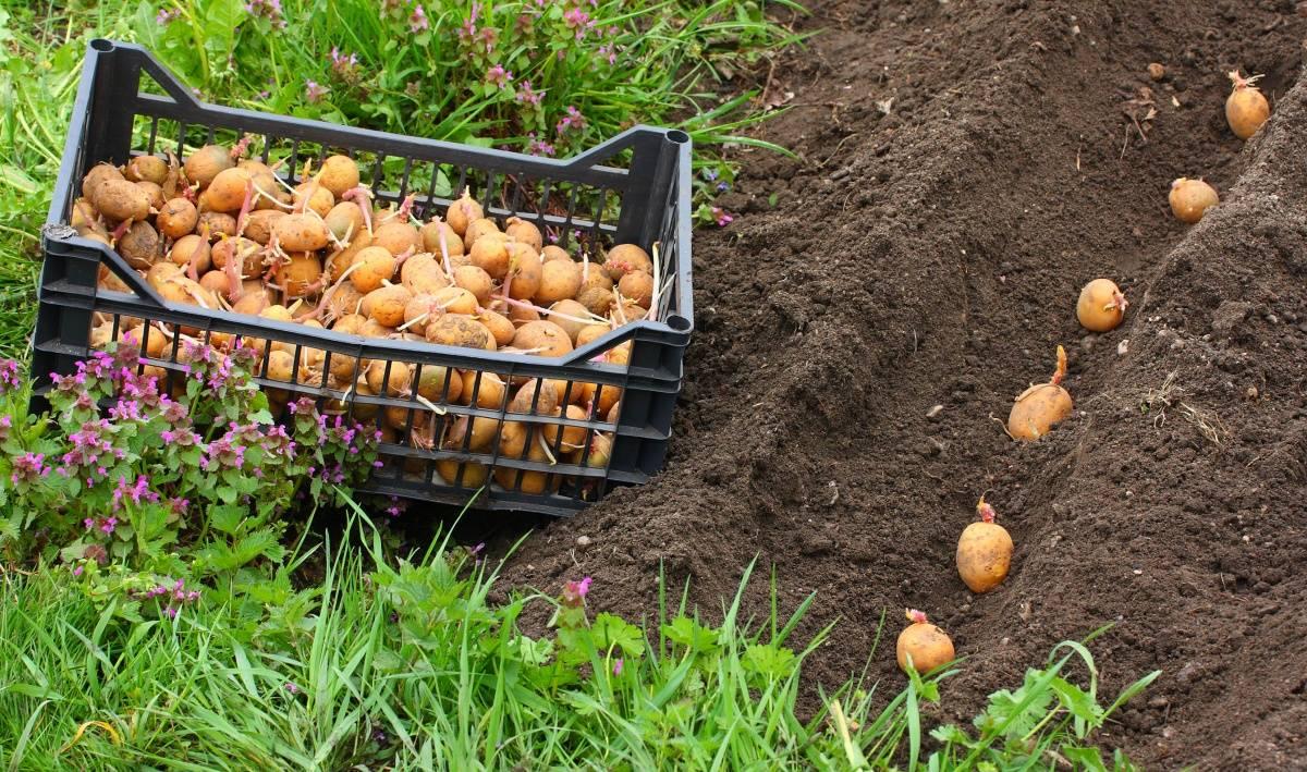 Технология выращивания картофеля в бочке