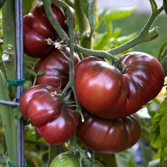 Характеристика томата Черный Крым