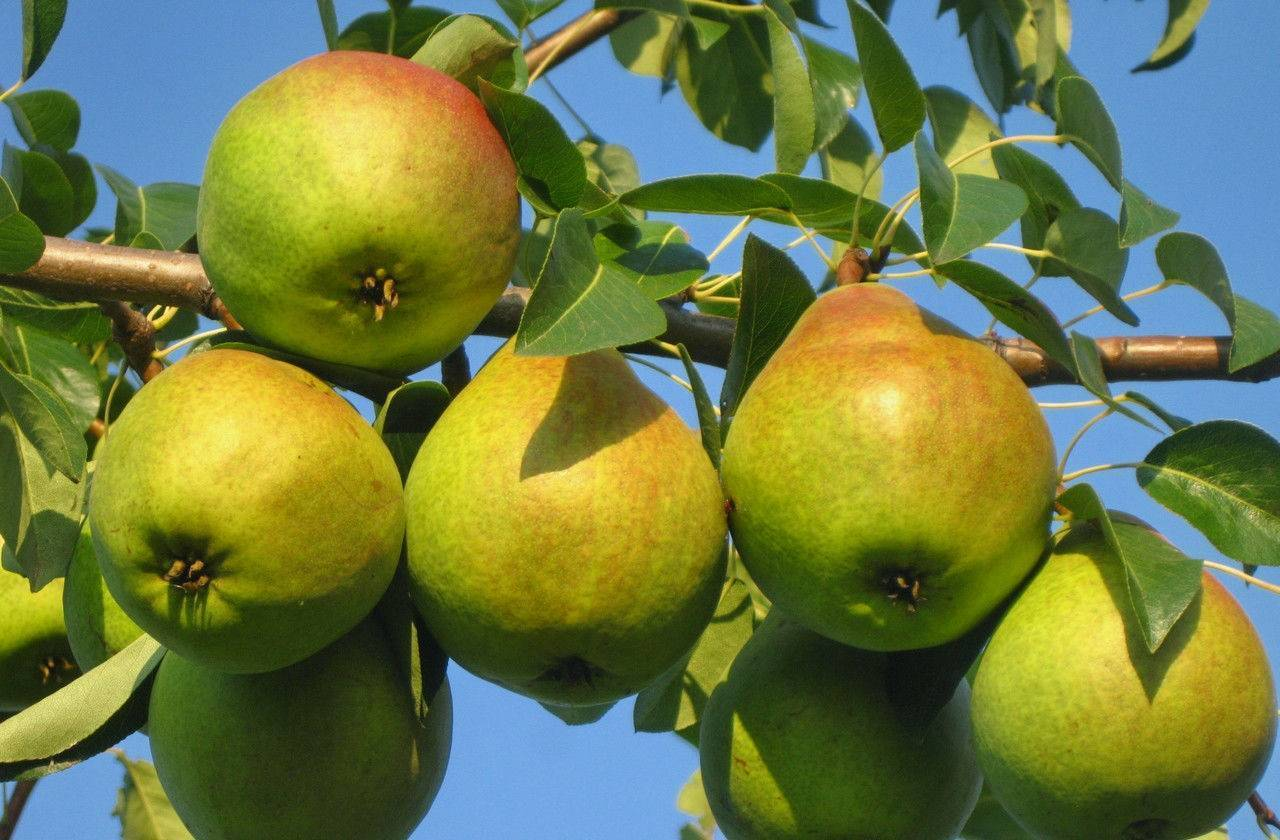 Сорт груши любимица яковлева, описание, характеристика и отзывы, особенности выращивания