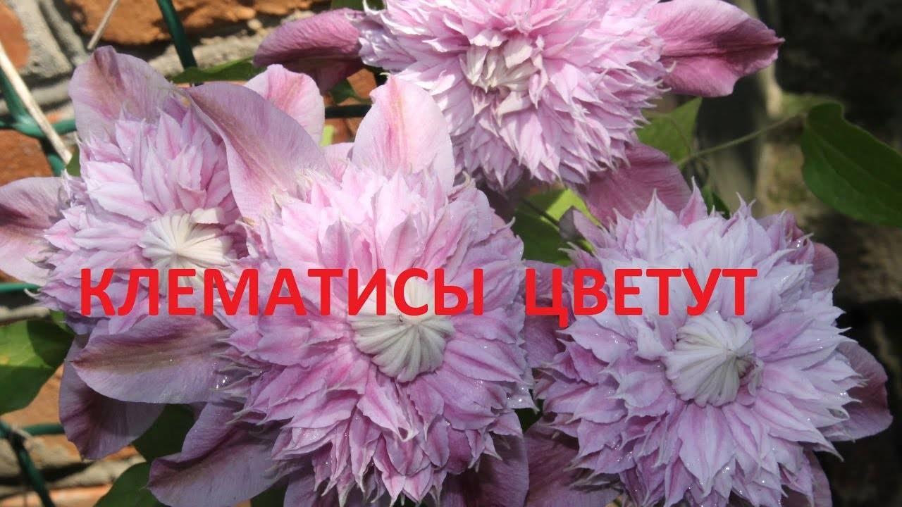Клематис «эрнест маркхем» (31 фото): описание сорта, группа обрезки, посадка и уход за крупноцветковым сортом, отзывы