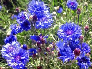 Василек садовый многолетний применение в медицине и ландшафтном дизайне