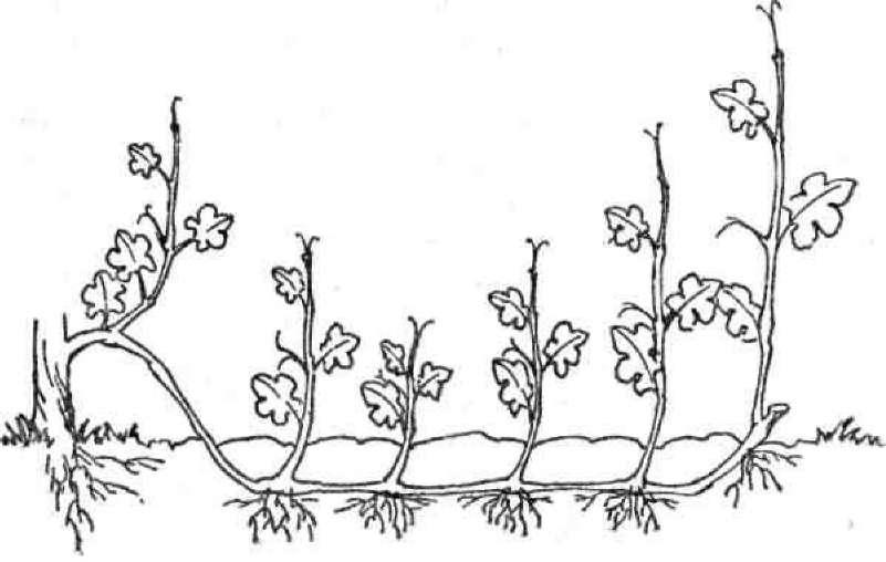 Как размножить виноград черенками осенью в домашних условиях