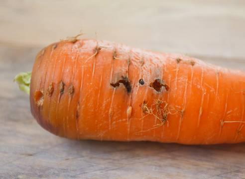 Что случилось с морковью? проблемы с урожаем на supersadovnik.ru
