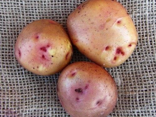 Описание картофеля свитанок киевский - мыдачники