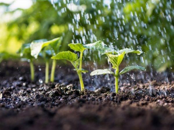 Как выращивать огурцы: технология возделывания и важные советы