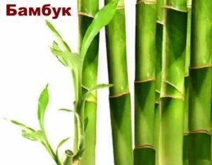 Как вырастить комнатный бамбук: посадка, размножение, уход