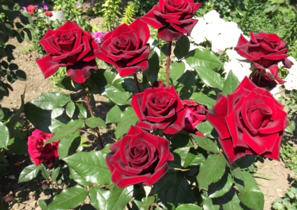 Кустовые розы: как вырастить, посадка и уход, размножение и обрезка, фото