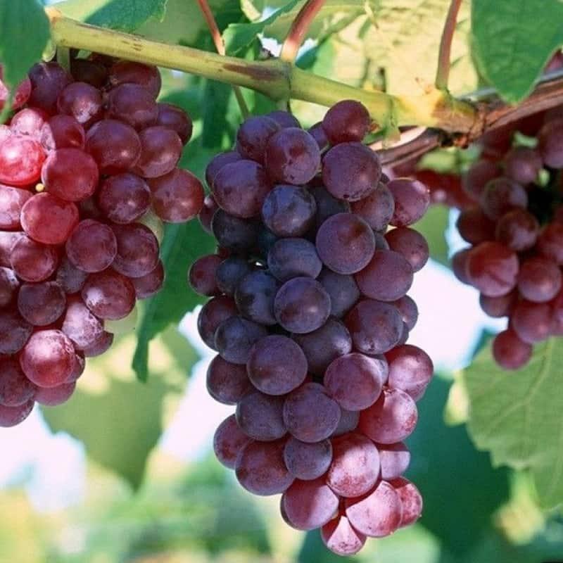 Сорт винограда русский ранний, описание сорта с характеристикой и отзывами, а также особенности посадки и выращивания