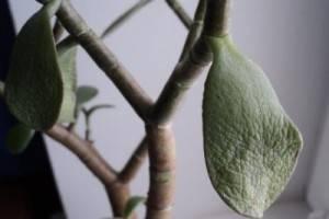 Листья денежного дерева: почему стали тонкие, мягкие, морщинистые и цветок их сбрасывает и вянет, а также когда на толстянке появляются пятна и что с этим делать?дача эксперт