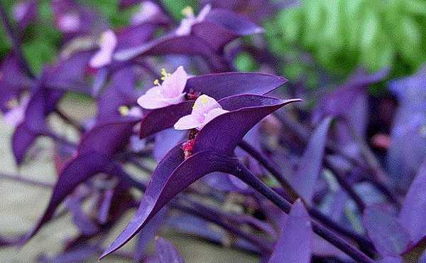 Приметы и суеверия о традесканции: можно ли держать в доме цветок