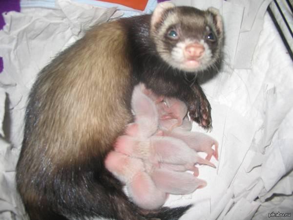Разведение хорьков в домашних условиях: вязка, спаривание, беременность, рождение детенышей