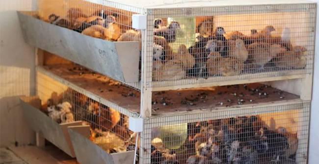 Делаем клетки для выращивания цыплят своими руками