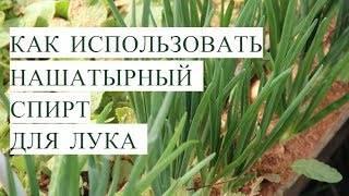 Как поливать лук нашатырным спиртом от луковой мухи