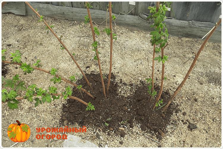 Уход за малиной осенью - обрезка и подкормка, обработка почвы